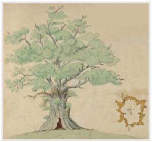Damory Oak