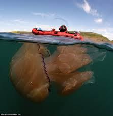 Monster jellyfish