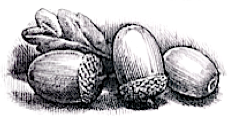 Acorns, such as fall in fairy-rings
