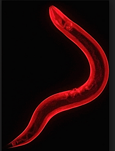 An adult Caenorhabditis elegans nematode, stained. (Quantum)
